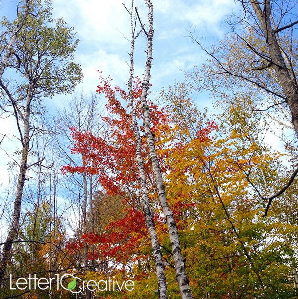 Birch and Maples fall leaves in Randolph Vermont