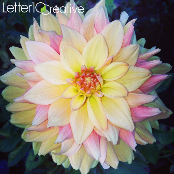 Dahlias 40 Days of Fall by Vermont Photographer Letter10 Creative