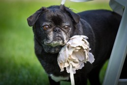 Dog as ringbearer for Essex Vermont wedding